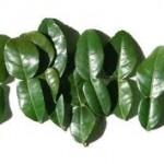 feuilles de combava