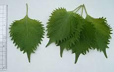 feuilles de shiso vert